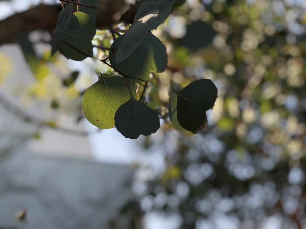 ユーカリの葉 ハートの形