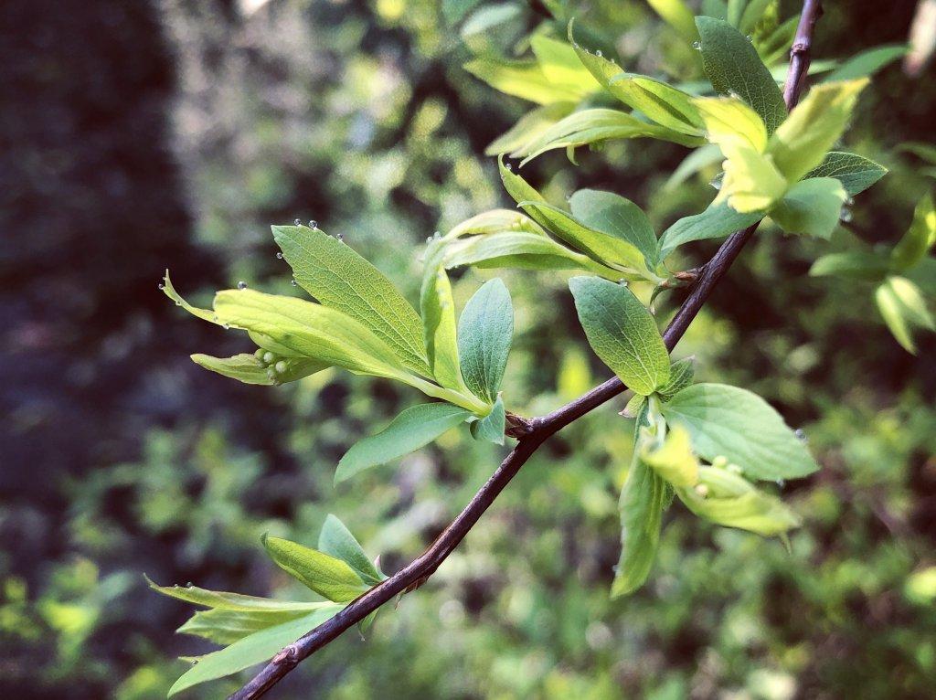新芽のグリーンの写真